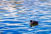 0119 IMG_8828 (JRmanNn) Tags: coot sunsetpark reflection water pond lasvegas paradise