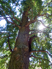 Sun through a tree, 2016 Aug 27 -- photo 1 (Dunnock_D) Tags: czechia czechrepublic prague blue sky garden gardens tree sun sunlight trunk foliage royalgarden královskázahrada malástrana lessertown
