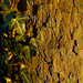 Golden Bark and Ivy
