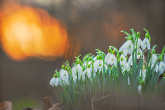 Do snowdrops melt at sunset? (.: mike | MKvip Beauty :.) Tags: sony⍺6300 sonyilce6300 sonyalpha6300 sonyalpha sony alpha emount ⍺6300 ilce6300 fe samyangxp85mmƒ12 premiummf samyangxp xp 85mmƒ12 ƒ12 adapter commliteautofocusadapteref commlite efnex eftoemount macro makro handheld availablelight naturallight backlight backlighting sunset sunsetlight shallowdof bokeh bokehlicious beyondbokeh extremebokeh smoothbokeh dreamy soft zen nature green orange white flower flowers snowdrops water drops waterdrops raindrops spring wörthamrhein germany europe mth mkvip commliteautofocusadapterefnex ngc