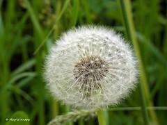 Pusteblume (magritknapp) Tags: löwenzahn dandelion blowball soffione dentedileone pissenlit dentdelion