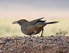 Curve-billed Thrasher (Pat's Pics36) Tags: nikond7000 nikkor18to200mmvrlens usa arizona benson encore rpi valleyvistarv curvebilledthrasher toxostomacurvirostre t