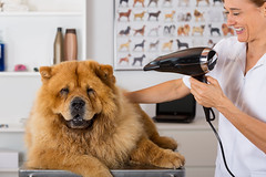 Canine hairdresser (135pixels) Tags: china woman dog pet white playing cute nature animals comfortable fur relax mammal one eyes furry funny sitting hand looking cut tabby small young fluffy towel front shampoo grooming barbershop domestic whisker friendly hairdresser rest salon lying hairstyle playful comb dryer striped hairdryer chowchow trimmer aesthetic purebred furminators