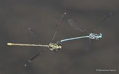 IMG_7923. White-legged Damselflies (Platycnemis pennipes) (Nick Ransdale (http://www.nick-ransdale.com/)) Tags: whiteleggeddamselfly platycnemispennipes