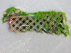 Seaweed023 (Quetzalcoatl002) Tags: life seaweed beach strand coast seaside scheveningen sealife vegetation attractiveness zeewier