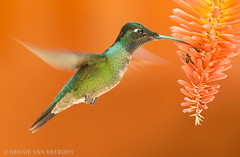 Fire in the sky (hvhe1) Tags: wild orange flower bird nature animal costarica wildlife hover naturalmente vuurpijl savegre phaeochroacuvierii specanimal sangerardodedota hvhe1 hennievanheerden scalybreastedhummingbird schuppenbrustkolibri colibridecuvier schubborstkolibrie kniphofiathysonii