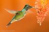 Fire in the sky (hvhe1) Tags: wild orange flower bird nature animal costarica wildlife hover naturalmente vuurpijl savegre phaeochroacuvierii specanimal sangerardodedota hvhe1 hennievanheerden scalybreastedhummingbird schuppenbrustkolibri colibridecuvier schubborstkolibrie kniphofiathysonii