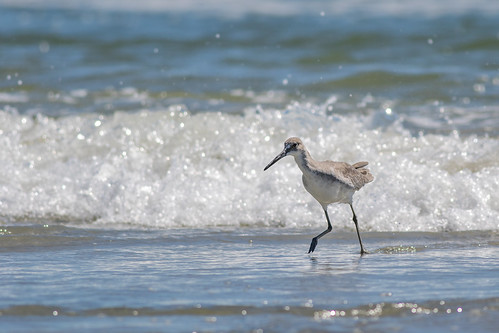 Willet working the surf - Tringa semipalmata