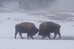Bison (wietsej) Tags: bison yellowstone winter snow sony 70400 a77 a77ii mk2 wietse jongsma wietsejongsma