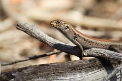 Egernia whitii (ross_coupland) Tags: park birds belt wildlife australian national granite np lizards reptiles herps girraween stanthorpe goomburra