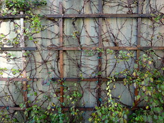 plant-growing-on-wall--pics-from-CSHL--DSC01344DSC06691 (mbgmbg) Tags: grid series cshl kw2flickr kwgooglewebalbum takenbymarkgerstein kwpotppt kwphotostream5 i0gi2015 seriesi0gi2015upload