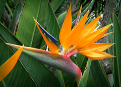Bird of Paradise (Bennilover) Tags: ocean flowers blue red wild orange flower colors yellow colorful purple exotic birdofparadise montage ants lagunabeach blooming yearround