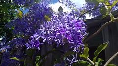 Flower  2 (jlau_lau) Tags: flowers blue sky plant flower fence flora day purple violet