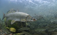 In Perfect Shape (Fish as art) Tags: fish canada fall fishing underwater rivers whitefish yellowknife ngs northerncanada coregonus coregonuslavaretus coregonusclupeaformis yellowknifenwt coregonids arcticecology yellowkniferiverfishes