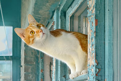 ginger cat at the window (lera_abrakadabra) Tags: cats cutecat blueandorange funnycat catface gingercat shabbychic catatwindow kittysuperstar rusticcat
