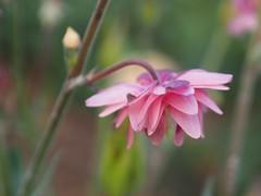 pink umbrella (glennisb) Tags: pink summer flower macro nature up umbrella petals close fluffy
