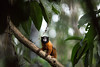 Golden-Mantled Tamarin (feelagainecuador) Tags: slr digital photography photo nikon photograph dslr d800 thefella conormacneill thefellaphotography