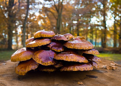 Autumn is a glorious time isn't it? (Peter Jaspers (busy at the moment)) Tags: autumn light colors mushrooms dof estate bokeh herfst olympus panasonic fungus paddestoel haarzuilens indiansummer dehaar 2015 landgoed oudewijvenzomer 20mm17 frompeterj