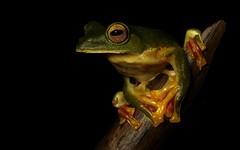 Malabar Gliding Frog - Rhacophorus malabaricus (Elliot Pelling) Tags: india macro canon flying 100mm gliding malabar malabaricus herping rhacophorus