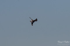 Bald Eagles Battle in the Air - 8 of 12