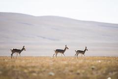 CYM_6905 (nature1970613) Tags: china tibet