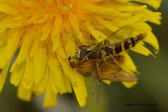 struggle for life (Agnes Van Parijs) Tags: macro paardebloem zweefvlieg strontvlieg grootlanglijfje