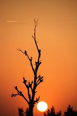 Sunsets In The Evening (Fotografia The ShoAib AnsAri) Tags: pakistan sunset sun tree photography photographer pakistani lahore intheevening kasur pakistaniphotographer discovermore lahorephotos locallylahore kasurcity