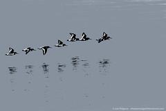 0G6A3501-Edit.jpg (saleterrier) Tags: bird birds flight oystercatcher wirral hilbre hilbreisland