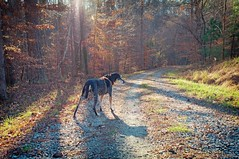 49/52 rounding the bend (huckleberryblue) Tags: trees dog gracie shadows hiking hound gravel coonhound week49 bluetickcoonhound lateautumn 52weeksfordogs