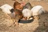 DSC_0151 (Sem Laurent ♫) Tags: chicken animals galinha chick chicks pintinhos