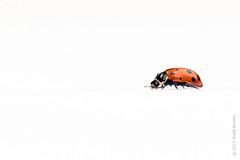 I can't walk away from you (Wade Brooks) Tags: may ladybug hunt 2015