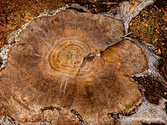 Rings (HLHullPhotography) Tags: tree rings upclose treestump fullertonarboretum