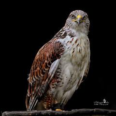 Bussard (Schneeglöckchen-Photographie) Tags: bussard buzzard vogel bird