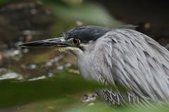 Bird (heiko.moser (+ 10.600.000 views )) Tags: bird vogel vgel tier tiere animal animale natur nature natura nahaufnahme outdoor canon closeup color heikomoser