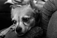JoanzooDecember_29-_20160056-Edit.jpg (fredstrobel) Tags: dogs joansnewhome blackandwhite pets phototype bella animals canton usa places ga