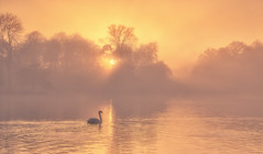 Serenity Swan (Captain Nikon) Tags: swan serenity tranquillity tranquil peaceful dreamy sunset misty fog foggy atmospheric melbournehall melbourne derbyshire nikond7100 sigma1835mm serene wildlife silhouettes sunrays