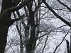 Dryocopus martius - Picidae - Pic noir - Black Woodpecker - Forêt Domaniale de Rambouillet - Saint-Léger-en-Yvelines - Yvelines - Île-de-France - France (vanaspati1) Tags: vanaspati1 nature oiseaux arbres hiver animaux sauvage dryocopus martius picidae pic noir black woodpecker forêt domaniale de rambouillet saintlégerenyvelines yvelines îledefrance france