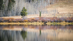 My Friend The Moose (Images by William Dore) Tags: wildlife moose animals grandtetonnationalpark lakes autumn autumnal fall trees landscape nikon nikond810 outdoors outside nationalpark