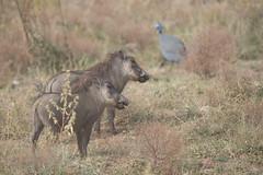 DSC_5141 (mylesm00re) Tags: africa gewonetarentaal limpopo numidameleagris phacochoerusafricanus vlakvark welgevondengamereserve za bird commonwarthog helmetedguineafowl mhondorogamelodge southafrica warthog waterhole