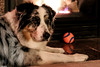 Baby, its warm inside (Jasper's Human) Tags: aussie australianshepherd