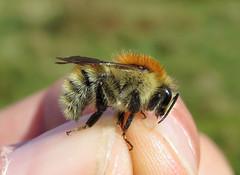 Bombus humilis male - Castlemartin Ranges, Pembrokeshire 2016a (Steven Falk) Tags: bombus humilis brownbanded carder bee apidae steven falk