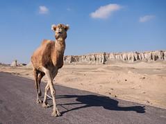Camelus dromedarius (Torsten Sodemann) Tags: iran qeshmisland dromedary