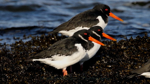 Oyster Catcher at Greenock, Scotland.