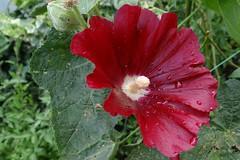 Stockrose (Gartenzauber) Tags: natureselegantshots excellentsflowers contactgroups magicmomentsinyourlife floralfantasy macroelsalvador mixofflowers nature'splus mimamorflowers