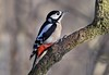 Great Spotted Woodpecker......... (klythawk) Tags: greatspottedwoodpecker dendrocoposmajor bird branch nature winter dof sunlight wildlife red brown green grey black white nikon d500 sigma 150600mmc calkeabbey nationaltrust ticknall derbyshire klythawk