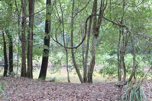 Warm Temperate rainforest with Cissus hypoglauca