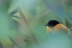 B&O (Madhav Jois) Tags: black orange flycatcher ooty