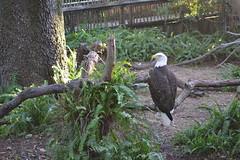 Eagle 15/12/16 (s.kosoris) Tags: skosoris nikond3100 d3100 nikon tampazoo tampa animal bird eagle baldeagle