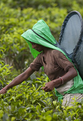 Tea picker in rain (David Rosen Photography) Tags: teapickers teafactory asia srilanka culture portrait travel