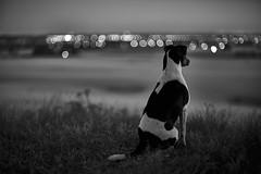 The best friend studies the bokeh bubbles (Budoka Photography) Tags: dog farmdog outlook outdoor bokeh manuallens manualondigital fdl canonllens canonfd50mmlf12 blackandwhitephotos blackandwhite bw monochrome dof depthoffield nature landscape pet vippenthedog primelens 50mm sonyalpha7